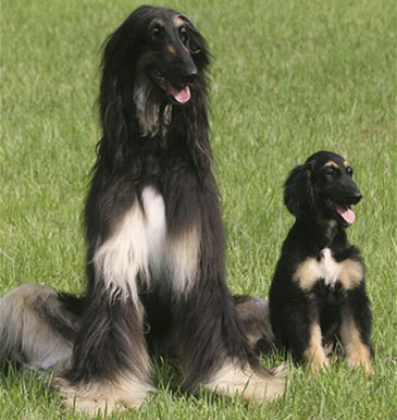 cute animals of afghan dogs youtube